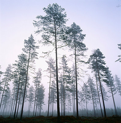 View of coniferous forest - p5755920f by Stefan Ortenblad