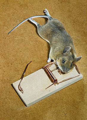 Tote Maus - p509m786311 von Reiner Ohms