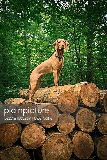 Viszla standing on tree trunks - p227m1503287 by Uwe Nölke