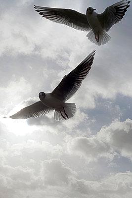 Seagulls - p1028m1516893 von Jean Marmeisse