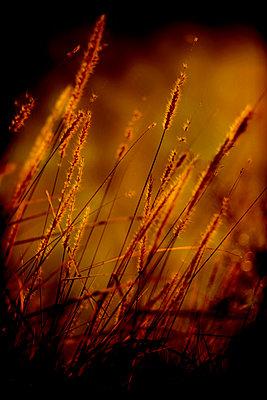 Buffel grass (Cenchrus ciliaris), Poaceae, France - p1028m2206418 by Jean Marmeisse