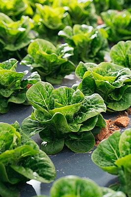 Close-up of lettuce field - p300m2155624 by Manu Padilla Photo