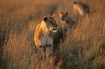 Nationalpark in Kenia - p3300398 von Harald Braun