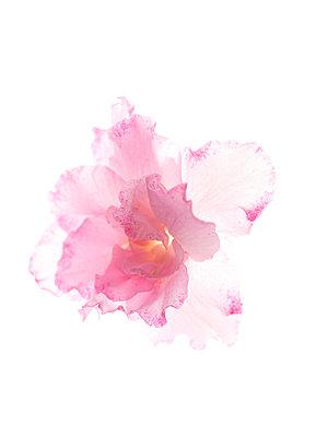 Azalea blossom - p401m2008369 by Frank Baquet