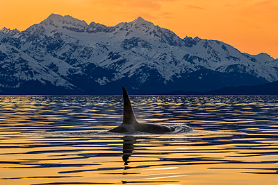 An Orca (Orcinus orca), also known as a Killer Whale, surfaces in Lynn Canal with the rugged Chilkat Mountains in the background, Inside Passage; Alaska, United States of America - p442m2074123 by John Hyde