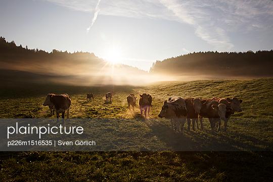 Kühe auf der Weide - p226m1516535 von Sven Görlich