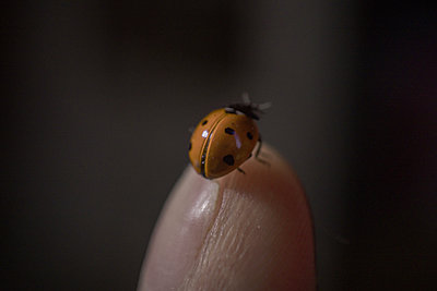 A tiny colorful lady beetle on a finger, extreme macro, coccinellid - p1166m2232714 by Cavan Images