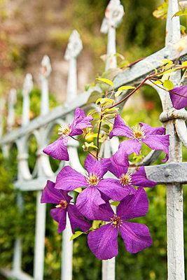 Clematis blossoms - p533m1111581 by Böhm Monika
