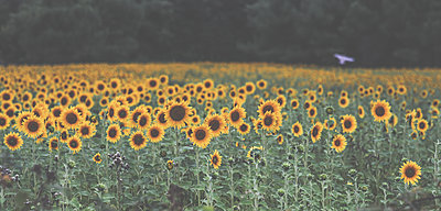 Sunflower field - p916m2031508 by the Glint