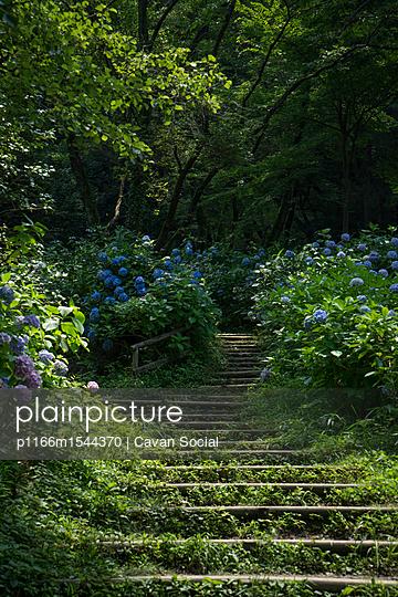 plainpicture | Photo library for authentic images - plainpicture p1166m1544370 - Hydrangea growing by steps ... - plainpicture/Cavan Images/Cavan Social