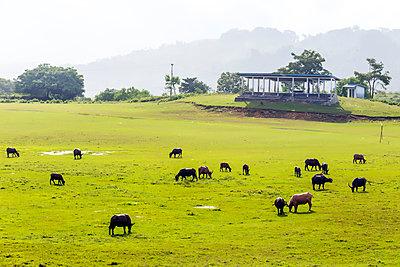 Rinderherde auf der Weide - p1108m1441255 von trubavin