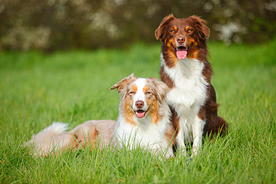 Two Australian Shepherds on a meadow - p300m1023006f by PeeWee photography
