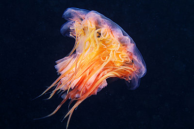 Lion's mane jellyfish (Cyanea capillata) - p429m1450318 by Alexander Semenov