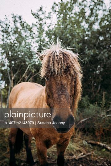 Pferd auf Wiese in Norwegen schaut direkt in Kamera - p1497m2143079 von Sascha Jacoby