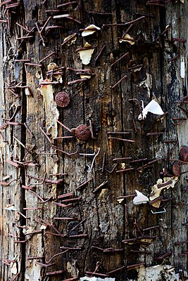 Rusting staples on wooden pole - p1072m941425 by Tal Paz-Fridman photography
