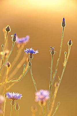 Kornblumen im Sonnenuntergang - p533m1525218 von Böhm Monika