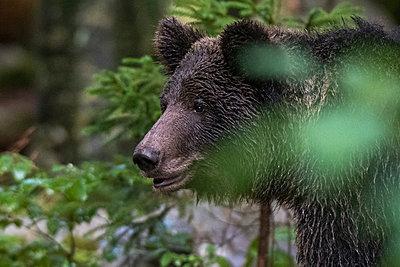 European Brown Bear, Ursus arctos in the Notranjska forest in Slovenia - p924m2196798 by Delta Images