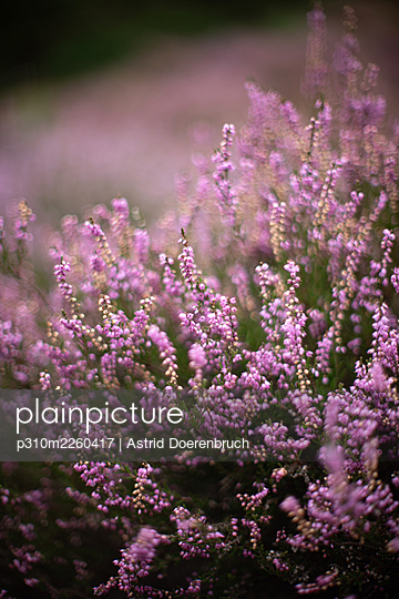 Blooming heather - p310m2260417 by Astrid Doerenbruch