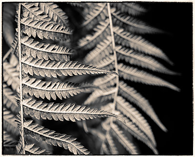 Fern fronds close-up - p1154m1425702 by Tom Hogan