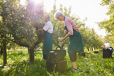 Organic farmers harvesting williams pears - p300m2140724 by Sebastian Dorn