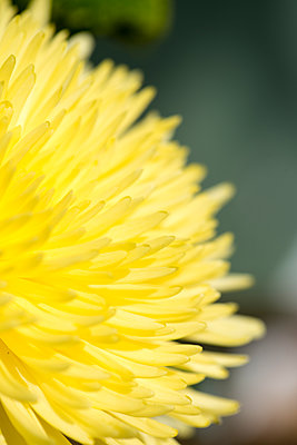 Chrysanthemum Yellow Morifolium Flower - p1560m2192867 by Alison Morton