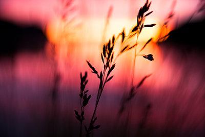 Grass straw in sunset on Greenland - p1687m2295169 by Katja Kircher
