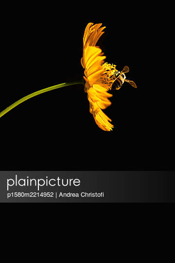 Yellow Flower with bee in front of a black background - p1580m2214952 by Andrea Christofi