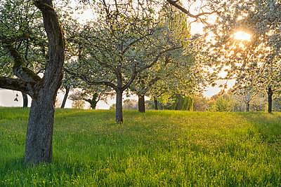 Germany, Baden-Wuerttemberg, Birnau, meadow with scattered fruit trees against the sun - p300m2082992 by Holger Spiering