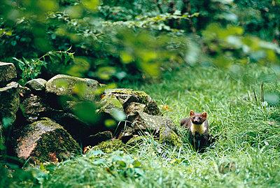 Marten in a forest - p5753335 by Johan Hammar