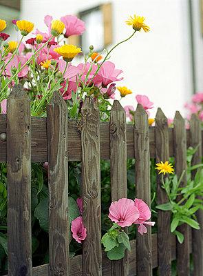 Malven am Zaun - p6060250 von Iris Friedrich