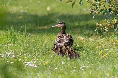 A female mallard duck marches her newly hatched ducklings through the lawn of a country garden. - p1433m1527605 by Wolf Kettler