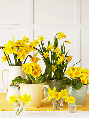 Daffodils   primulas in various vases on a table top - p3493777 by Jan Baldwin