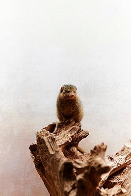 Kleiner Mungo im Zoo - p4150686 von Tanja Luther