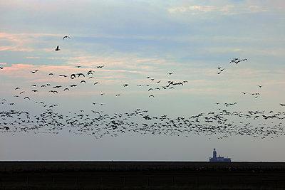 Flock of barnacle geese, Kaiser-Wilhelm-Koog - p1016m2289474 by Jochen Knobloch