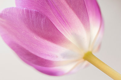 Close Up Macro Image of a Tulip - p1166m2088349 by Cavan Images
