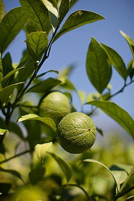 Zitronenbaum - p1204m1020241 von Michael Rathmayr