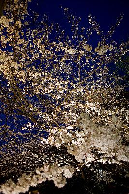 Kirschblüte - p7840039 von Henriette Hermann
