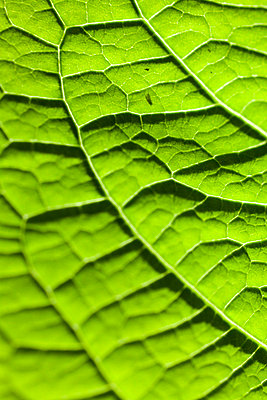 Leaf veins - p9530068 by Benoit Audureau