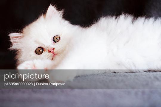 White kitten, close-up - p1695m2290923 by Dusica Paripovic