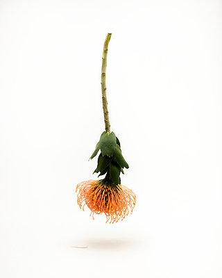 Verwelkte Blume - p1177m965855 von Philip Frowein