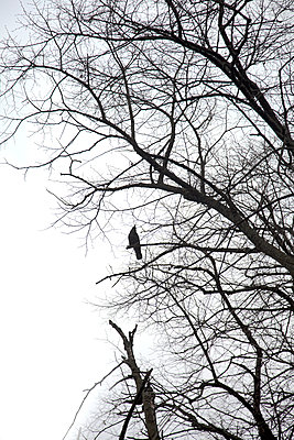 Bird on Bare Branches  - p1248m1510428 by miguel sobreira