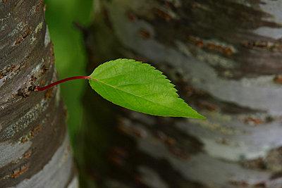 Cherry tree leaf - p307m756196f by Yosikazu Fujii
