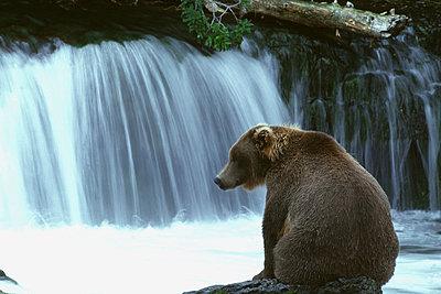 Grizzly bear (Ursus arctos horribilis) sitting on a rock - p3487421 by Gunter Lenz