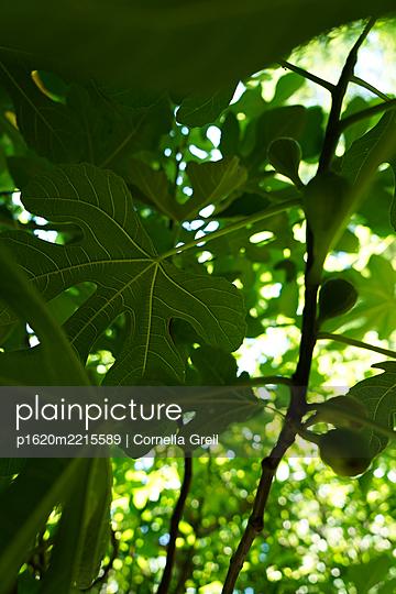 Feigenbaum mit Blatt und Frucht - p1620m2215589 von Cornelia Greil