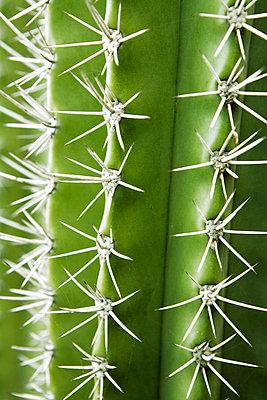A green cactus close-up Aruba. - p31217848f by Jakob Fridholm