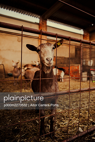 Goat in stable looking at camera - p300m2273532 by Aitor Carrera Porté