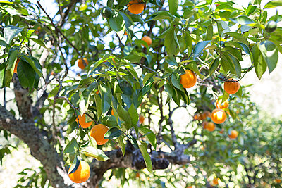 Orange tree - p1059m1502051 by Philipp Reiss