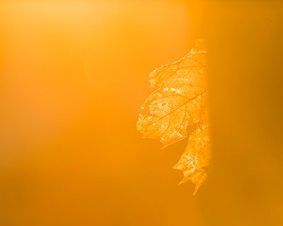 Yellow autumn leaf - p312m1113820f by Mikael Svensson
