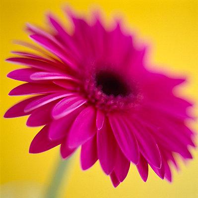 Pink gerbera - p4950174 by Jeanene Scott