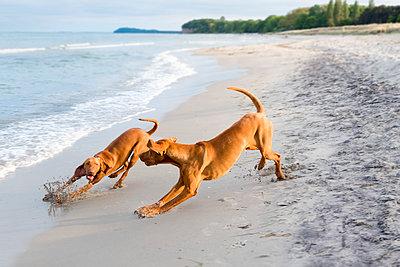 Zwei Hunde am Strand - p739m1138451 von Baertels